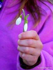 Spring Flowers:  Snow Drops