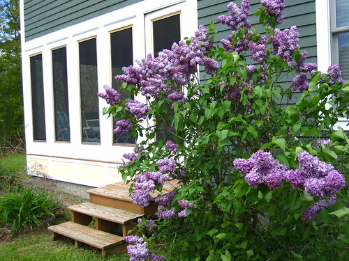 Lilacs at my dads