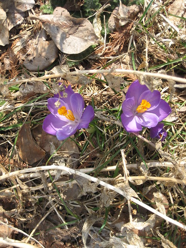 Volunteer crocuses
