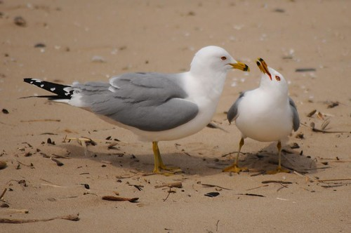 Ring-billed Gull 82