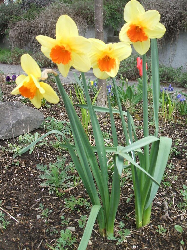 Narcissus 'Scarlet Royal'