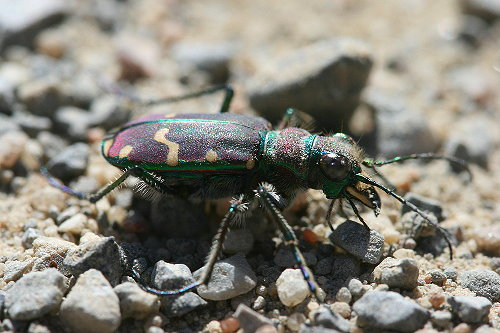 Green-margined Tiger Beetle, Cicindela limbalis