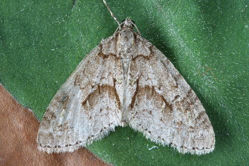 7637 - Cladara limitaria - Mottled Gray Carpet (6)