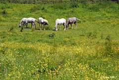 Five Horses Among the Buttercups