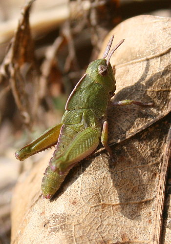 grasshopper nymph