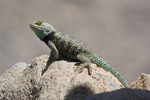 Desert Spiny Lizard by you.