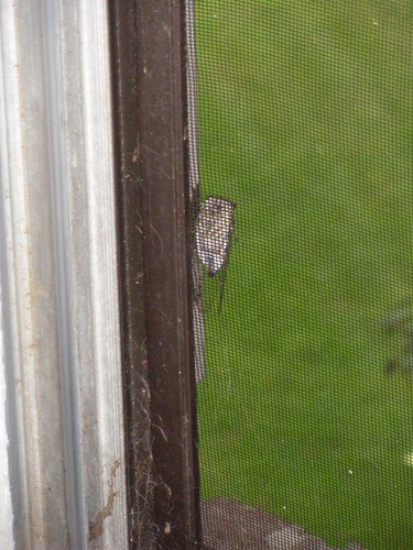 Ah! A cute lil cicada outside my window this morning.