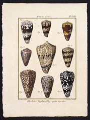 Lamarck - Conus Plate 318