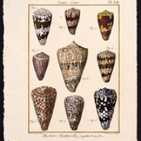 The Alphabet Cone Shell