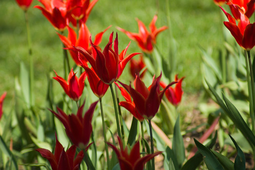 red tulips, Istanbul Tulip Festival, İstanbul, Pentax K10d