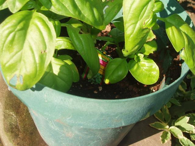 new growth on the basil