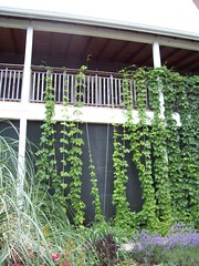 The beer must be good if theres hops growing all over the building.