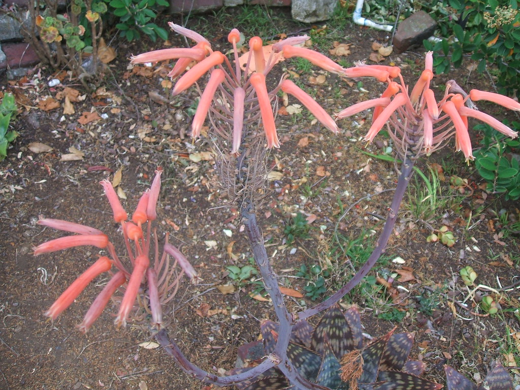 Alien aloe flowers