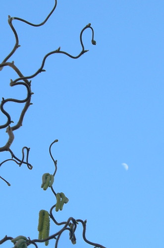 Moon over contorted filbert branches