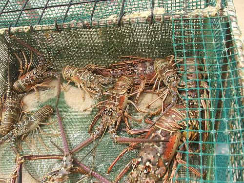 Lobster fest!