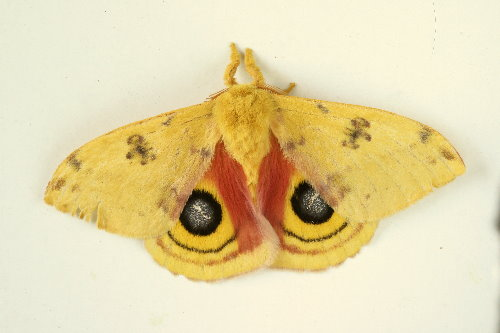 7746 - Automeris io - Io Moth (2)