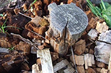 cepo pinheiro decomposto