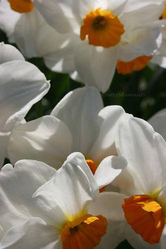 IMG_6739 - Daffy Shadows