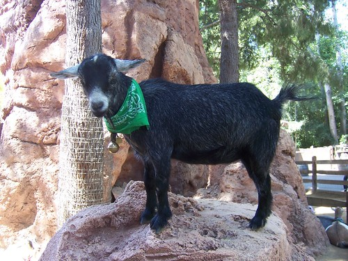little black goat