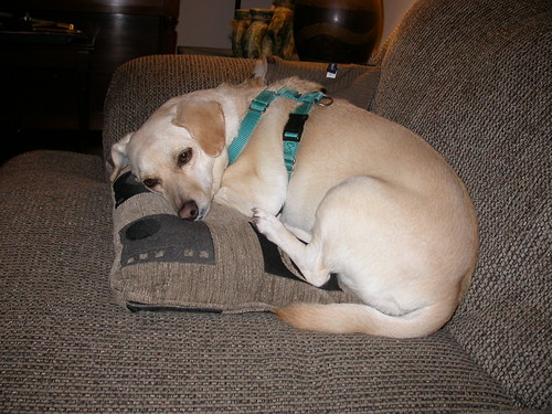 Dog on a Pillow