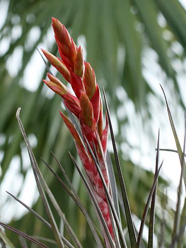 Tillandsia-Fasciculata-Flow