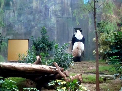 an an panda standing