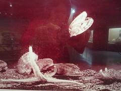 หอยเชลล์ว่ายน้ำ