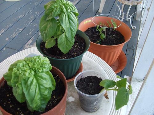 Basil, Tomato & Pumpkin
