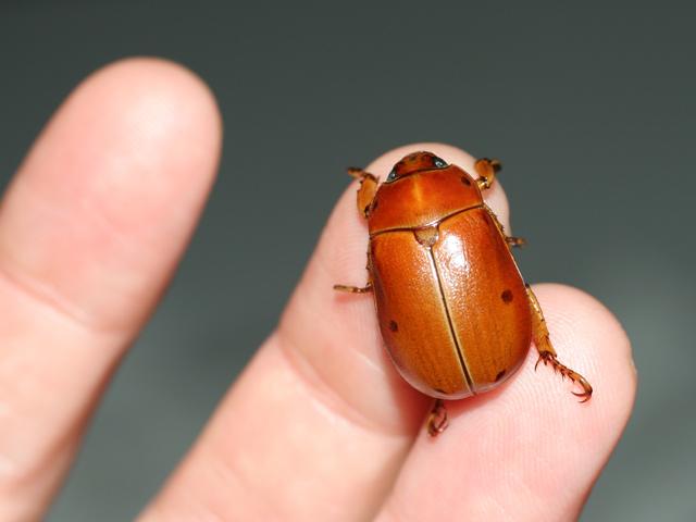 Grapevine-Beetle1