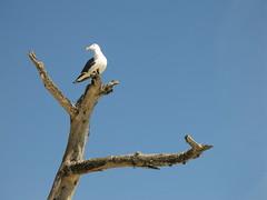 Perching Gull