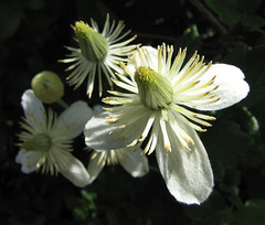 pipestems - clematis lasiantha