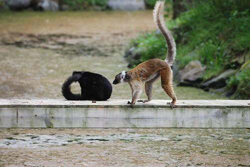 Mohrenmakis im Zooparc de Trégomeur