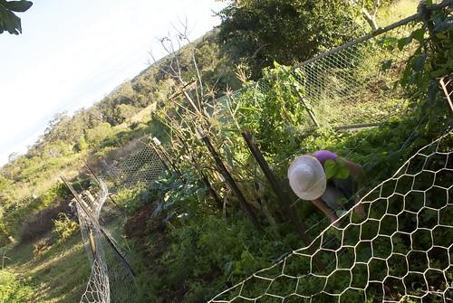 Sandy's front vege garden