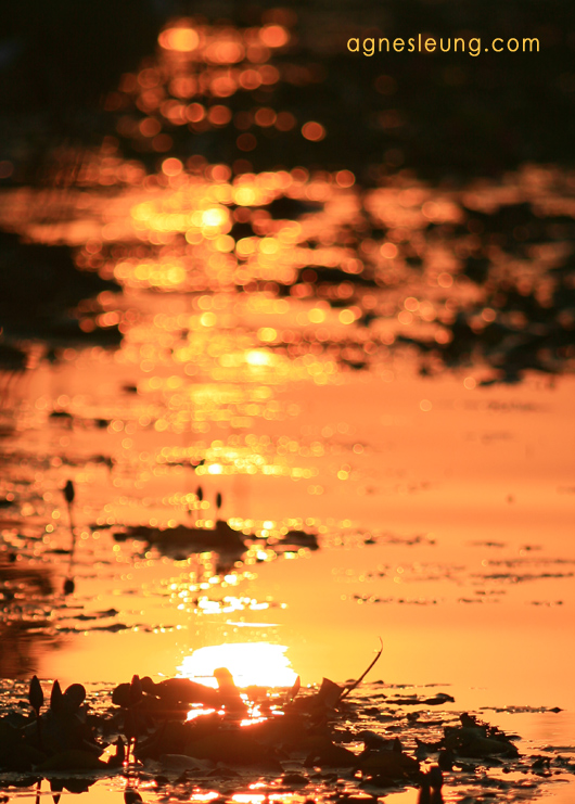 sunset in the pond