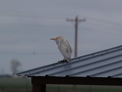 Frowzy Cattle Egret