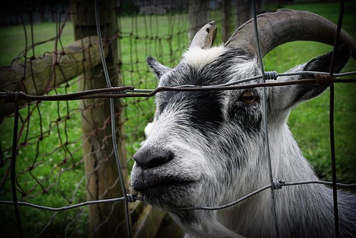 Henry's Ark: Goat