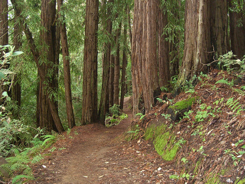 Redwoods along the Bay Tree Trail