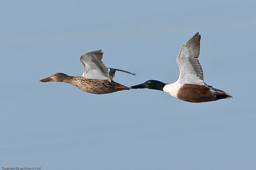Northern Shoveler by you.
