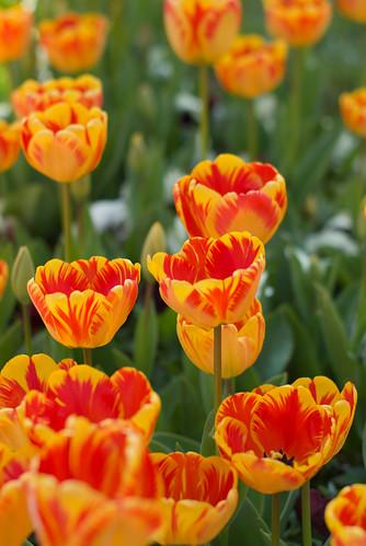 yellow-red tulips, istanbul tulip festival, istanbul, sarı-kırmızı laleler, istanbul lale festivali, pentax k10d