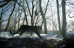 Sanduga, female Amur leopard