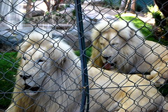 White lions at The Secret Garden of Siegfried & Roy