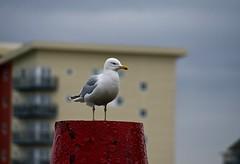 Herring Gull at Hythe