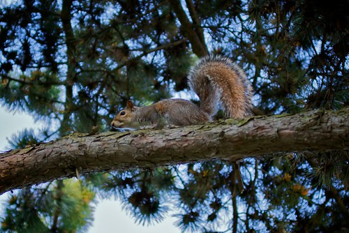 an agile tree-dwelling rodent