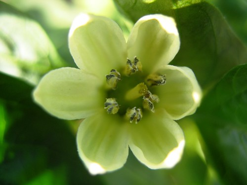 Pepper Flower