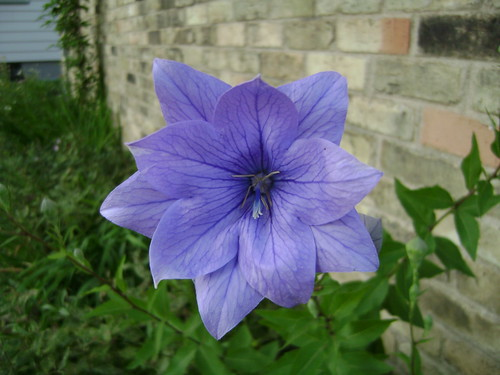 Double Balloon Flower
