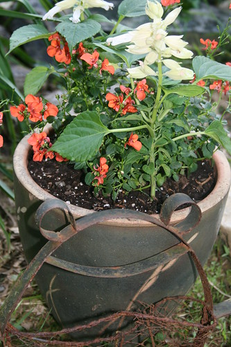 Apricot Diascia and White Salvia