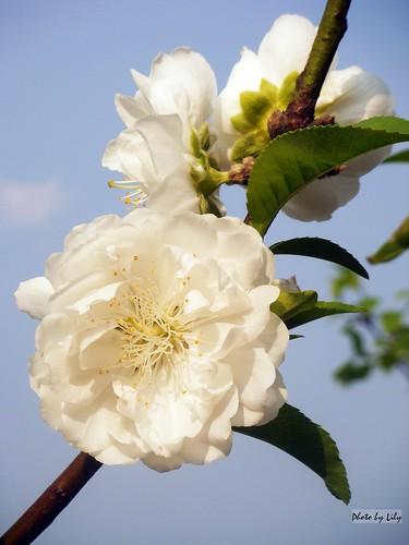 姿態優雅美麗的白色杏花。