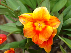 Tulip 'love song' {tulipa l.}