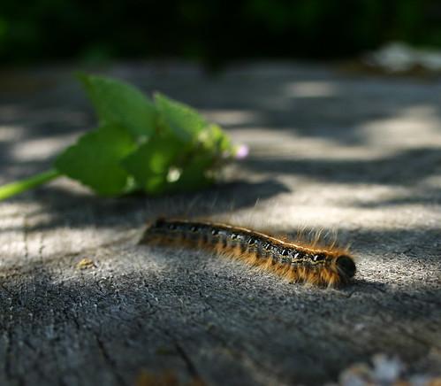 the first caterpillar!