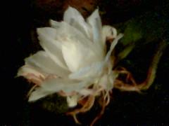 Desert Rose 5